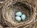 grant-dixon-nest-and-eggs-of-common-blackbird-turdus-merula