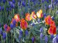 Tulipn_modence_P4150006