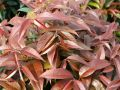 Leucothoe_Royal_Ruby