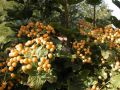 Viburnum-opulus-Xanthocarpum-les-fruits-Medium-