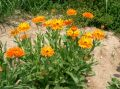 Calendula_officinalis31